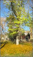 Photo: Tei (Tilia)   - din Turda, de pe Str. Avram Iancu, parculet - 2018.11.16