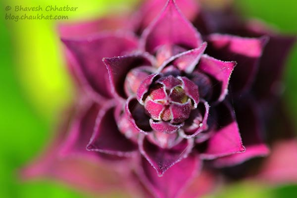 Macro photo of pink colored buddying leaves