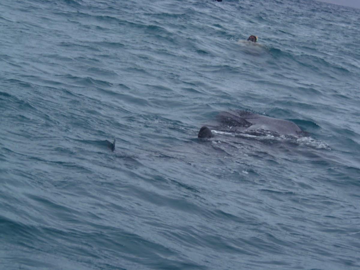 Whale Shark swimming away