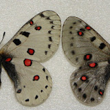 Parnassius (Parnassius) apollonius EVERSMANN, 1847 (couple). Kirghiz Range, Kirghizistan. Photo : Pavel Morozov