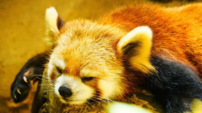 多摩動物公園 レッサーパンダ 写真2