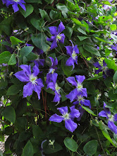 Photo: Clematis 'Wisley'