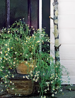 how to grow chamomile in pots