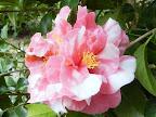 サーモンピンク 白斑入り 八重〜ボタン咲き 中〜大輪