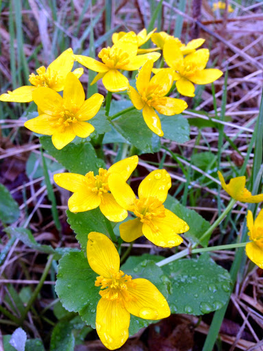 Marsh marigolds popping out in recent days. Hopefully surviving the cold weather!