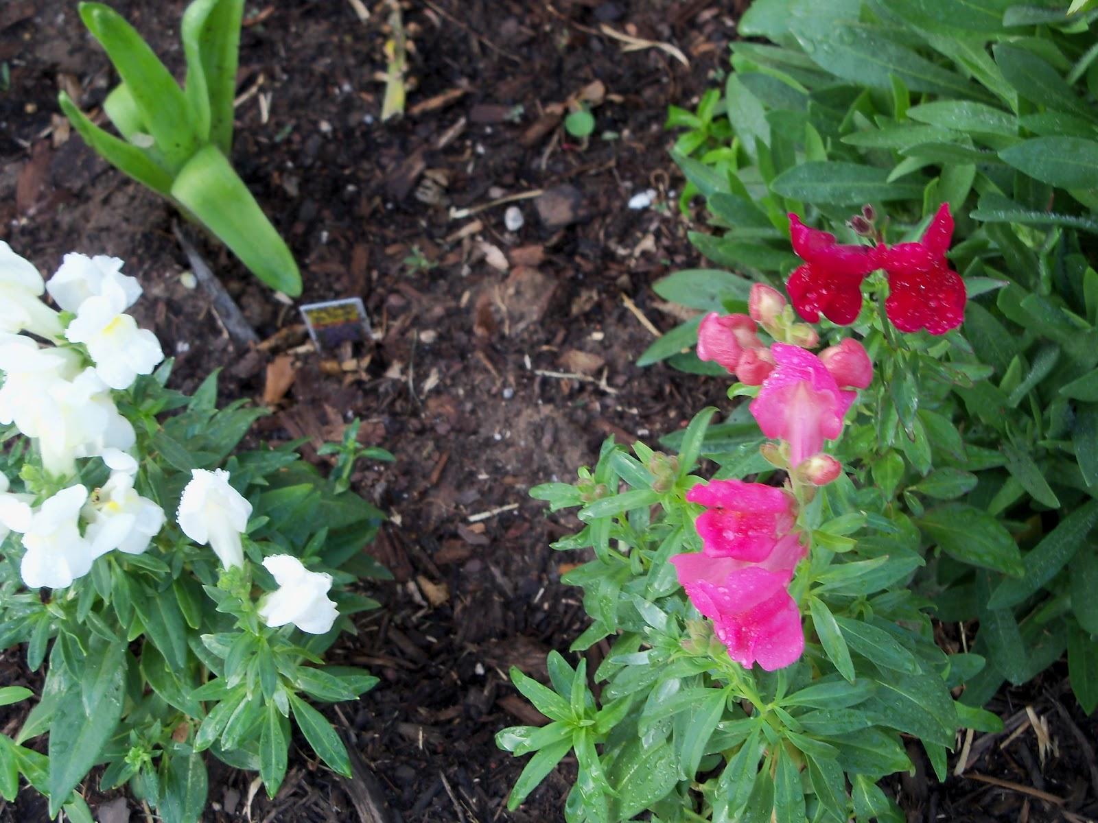 Gardening 2011 - 100_6852.JPG