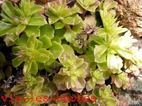 orpin pourpre, Phedimus stellatus, Crassulacees.jpg