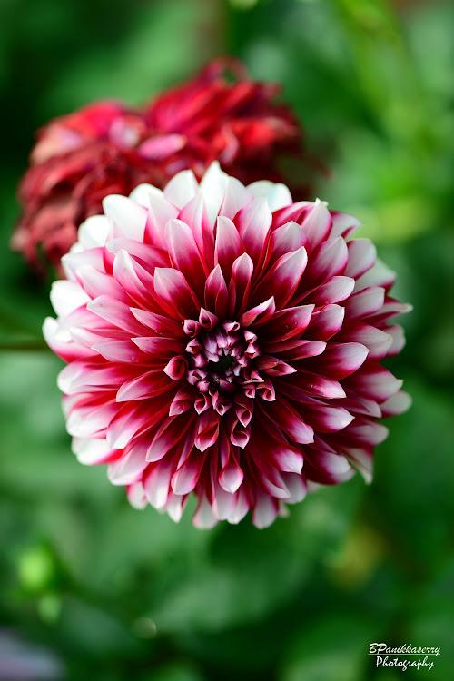 Dahlia     #balram  #flowerwatcher #thrissur #kerala  #nikon  #swarajround