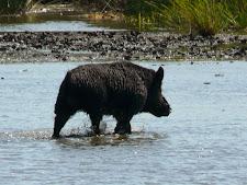 wildlife-wild-boar-1.jpg