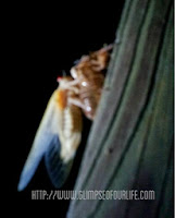 cicada leaving shell