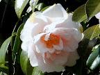 桃色 牡丹咲き 雄しべは割れて弁と混在 中〜大輪