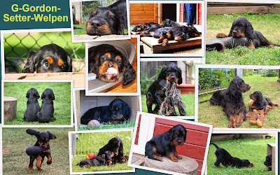https://sites.google.com/site/kemtinsblackgordonsetter/home/wuerfe/g-gordon-setter-welpen
