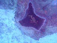 Spiny crab in coral hole (says John)
