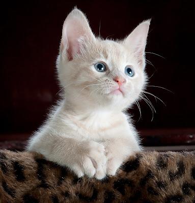 خلفيات موبايل قطة بعيون زرقاء , قطة بيضاء , قطة كيوت , قطة صغيرة