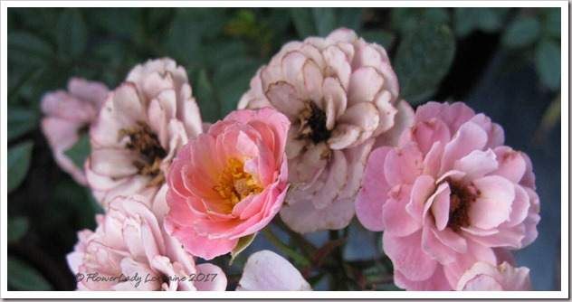 04-03-new-rose5