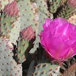Beavertail cactus - кактус бобровый хвост