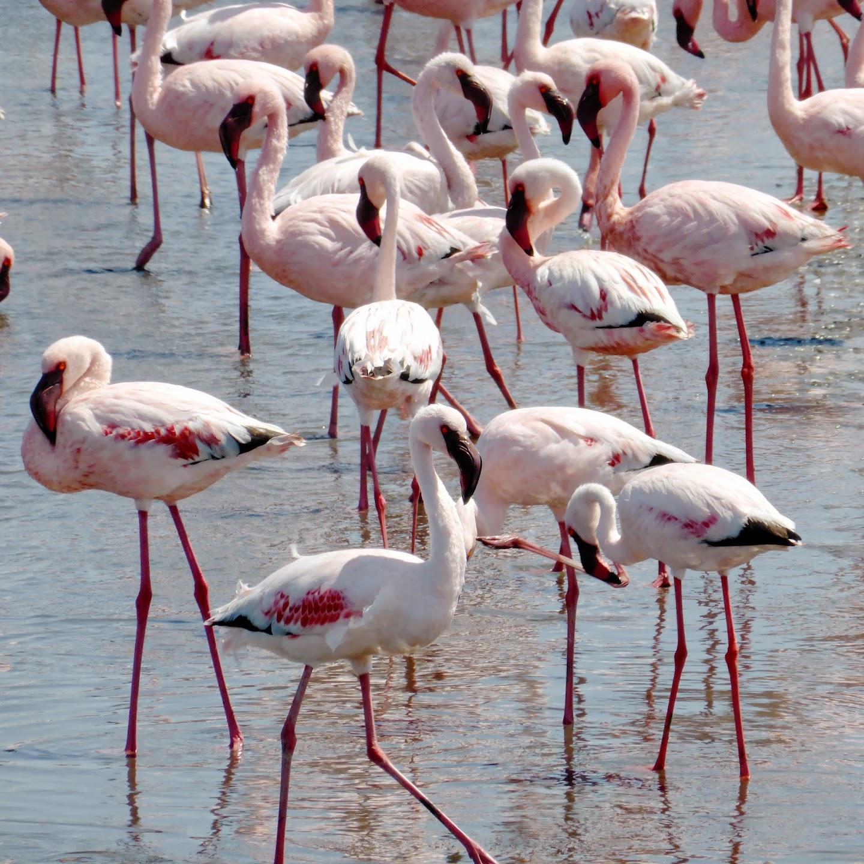 Flamingo's in Swakopmund