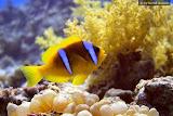 Anemone fish (© 2008 Bernd Neeser)
