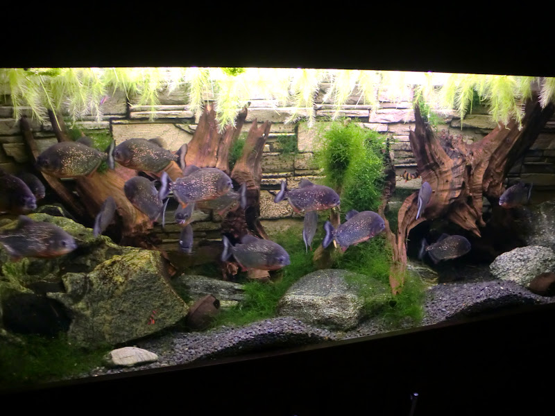 Piranijos akvariume