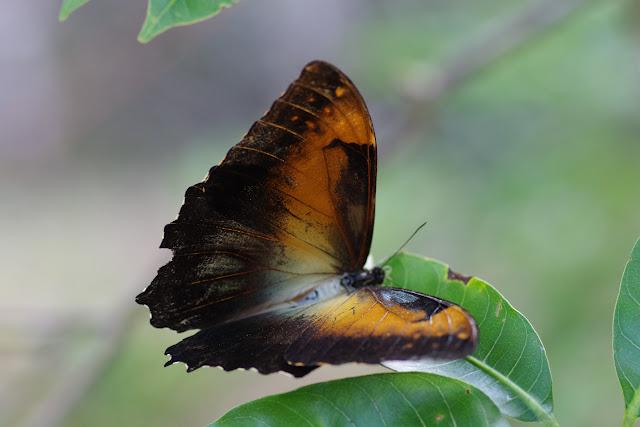 Morpho (Iphimedeia) telemachus telemachus metellus (CRAMER, 1775). Premier layon, Patawa (Montagne de Kaw), 25 octobre 2012. Photo : J.-M. Gayman