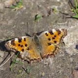 Nymphalis polychloros L., 1758. Les Hautes-Lisières (Rouvres, 28), 30 mars 2012. Photo : J.-M. Gayman