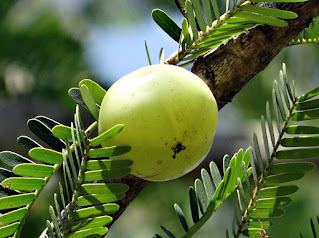 Amla benefits in Telugu, Amla powder benefits, Amla juice benefits, Amla powder for hair, What are the benefits of eating Amla, What happens if you eat Amla daily, What are the side effects of Amla