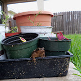 Gardening 2010, Part Two - 101_2477.JPG