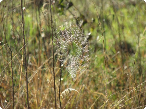 10a Spider Webs in Dew (5)