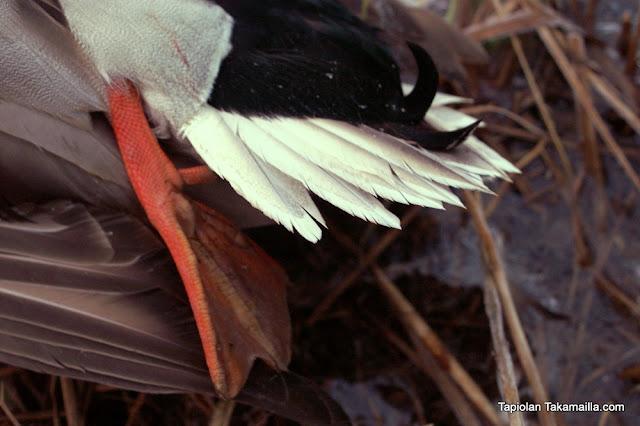 sorsajahti labradorinnoutaja metsästys heinäsorsa sorsaparvi muuttosorsa