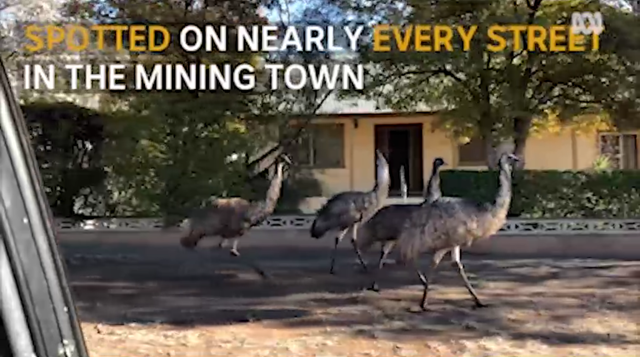 Mobs of emus have taken over the small mining town of Broken Hill in far west New South Wales, 19 August 2018. The native birds have been drawn to town in search of food and water as drought worsens, with the region facing its driest start to a year on record. Photo: ABC News