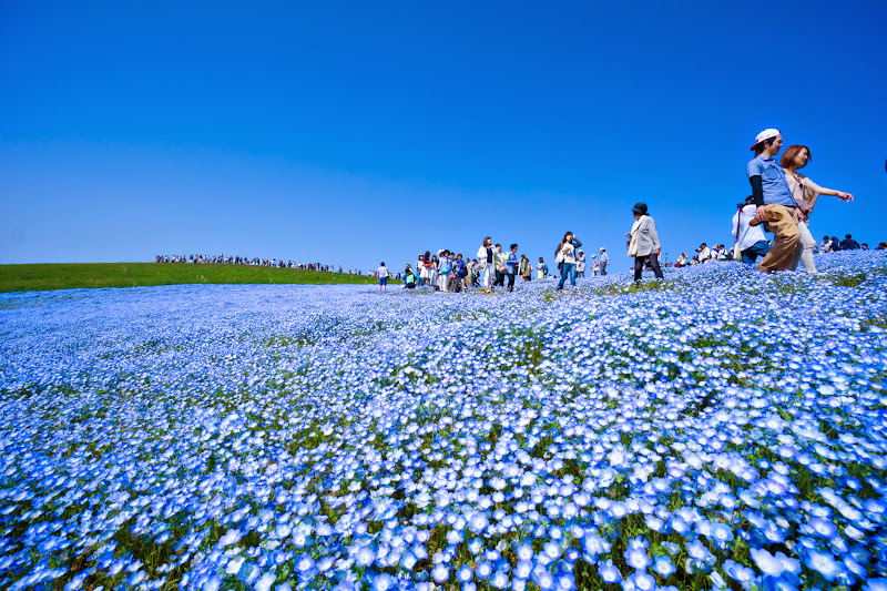 Hitachi Seaside Park Nemophila (baby blue eyes flowers) photo12