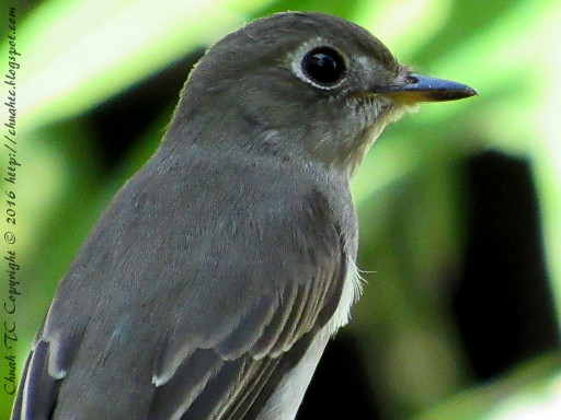 Asian Brown Flycatcher - Head And Upper Body