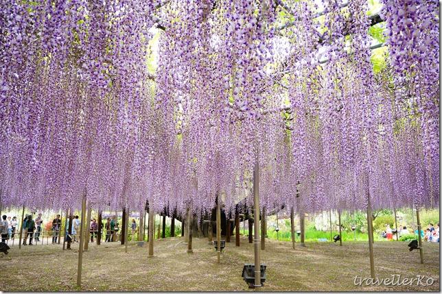 在最美的季節遇見足利紫籐花卉公園:門票交通攻略實況(下)08