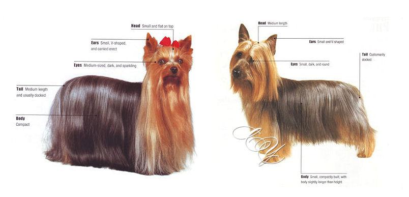 Diferencias entre Yorkshire Terrier y Silky Terrier