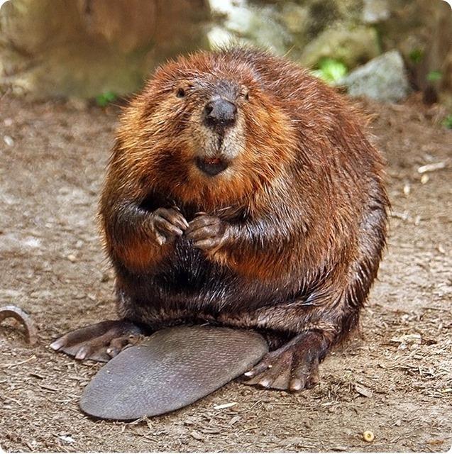 Beaver_thumb2