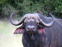 Cape Buffalo - Botswana - Okavango Delta