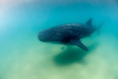 Whale_Shark_in_Shallow_Water