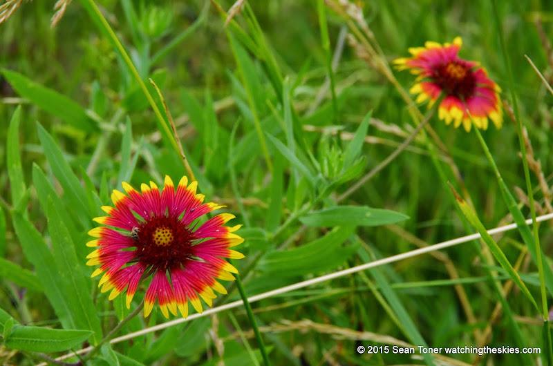 05-26-14 Texas Wildflowers - IMGP1357.JPG
