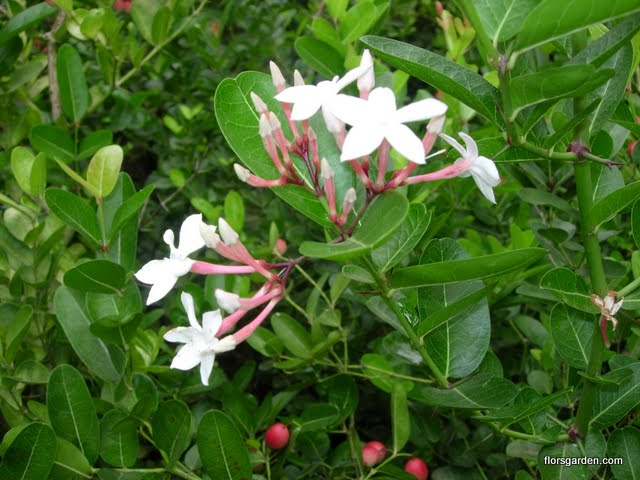 Carissa Plant - DSCN2209.JPG