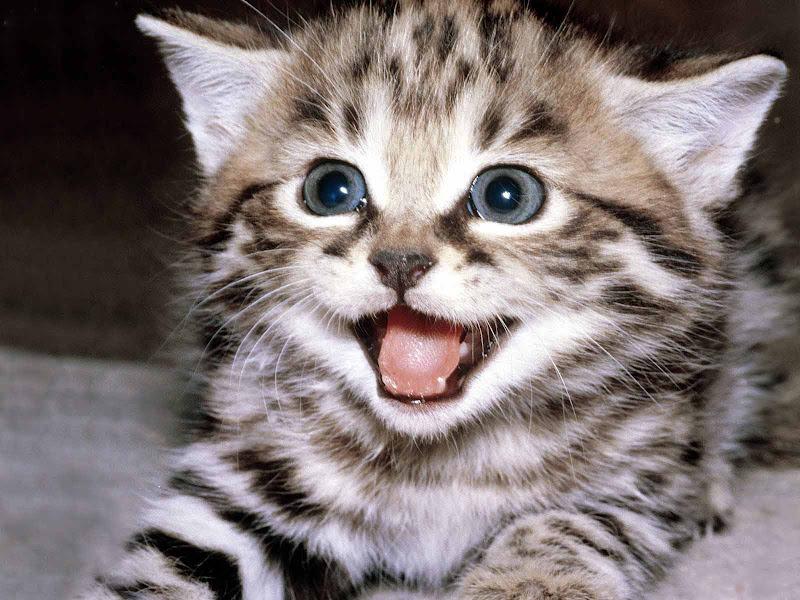 ... Wallpaper dekstop anda akan terlihat lucu dan unyu-unyu. Gambar kucing