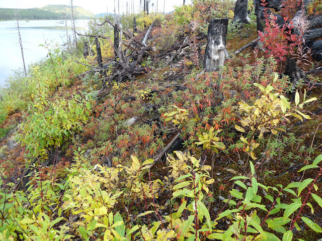 Here we see mostly willow (species?) and Labrador Tea (orangish red and green leaves)