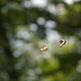 Deux Ladoga camilla L., 1764, se poursuivant. Les Hautes-Lisières (Rouvres, 28), 28 juin 2011. Photo : J.-M. Gayman