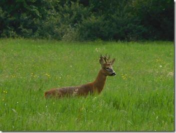 12 roe deer