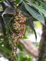 Nest of Golden-bellied Gerygone