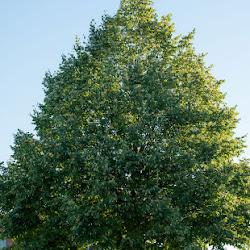 Exposition virtuelle « Blainville et ses arbres »