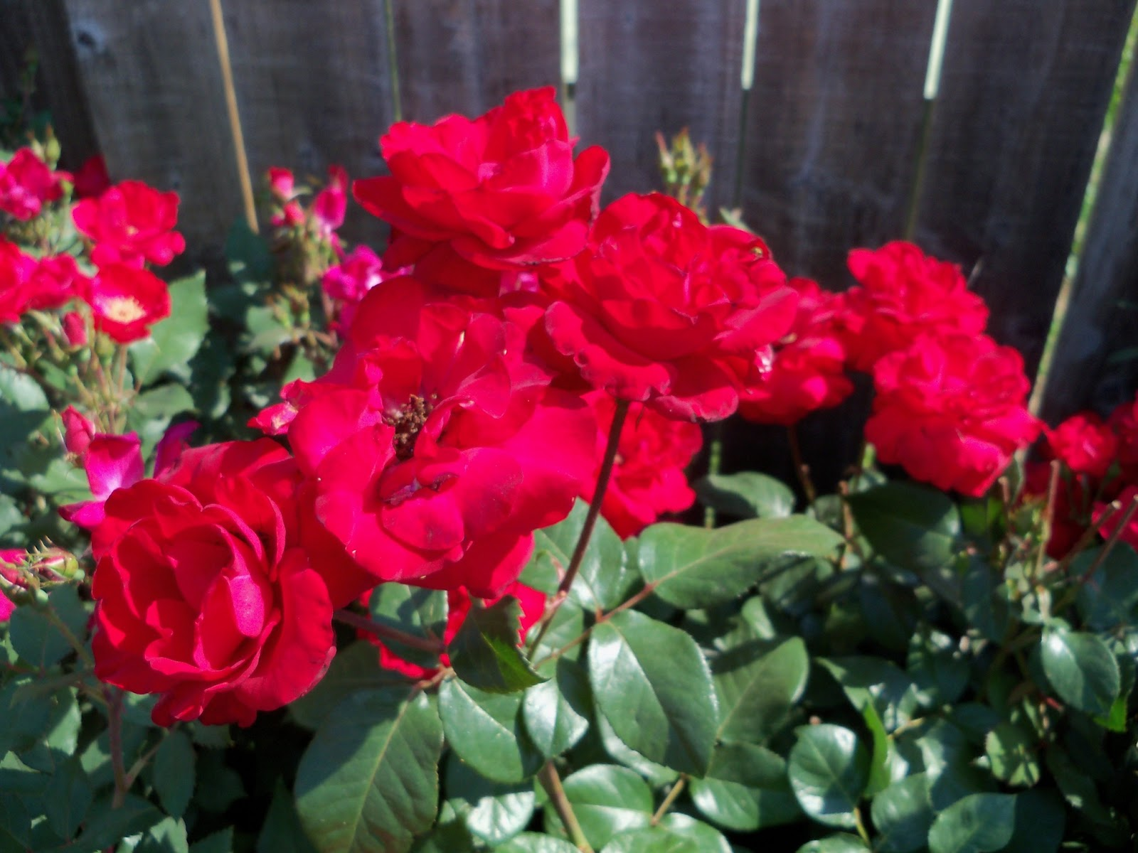 Gardening 2011 - 100_7942.JPG