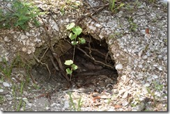 Burrow in shell midden-2