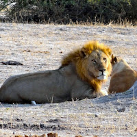 Male Lion seen at Chobe