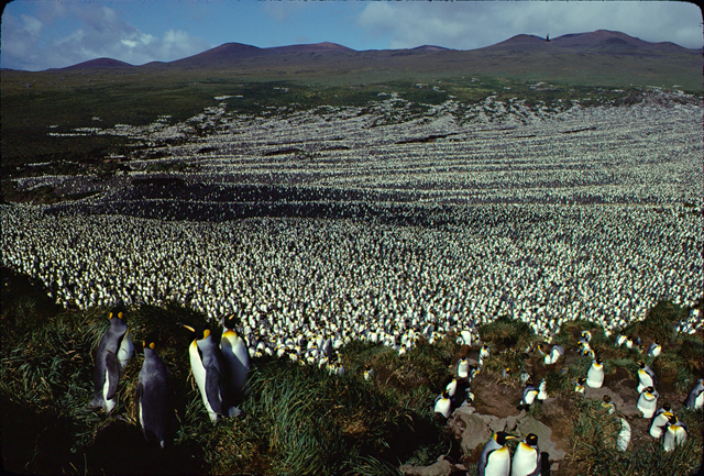 Île aux Cochons king penguin colony in 1982. Photo: Henry Weimerskirch