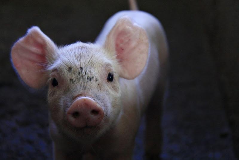 porcos-porco-16112414594043